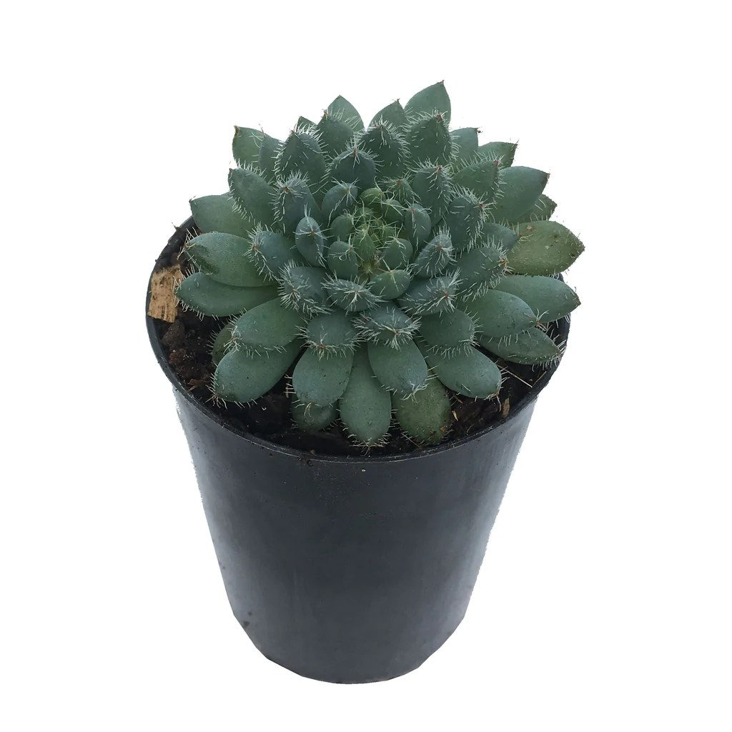Mini Echeveria Setosa Var Deminuta For Sale Online