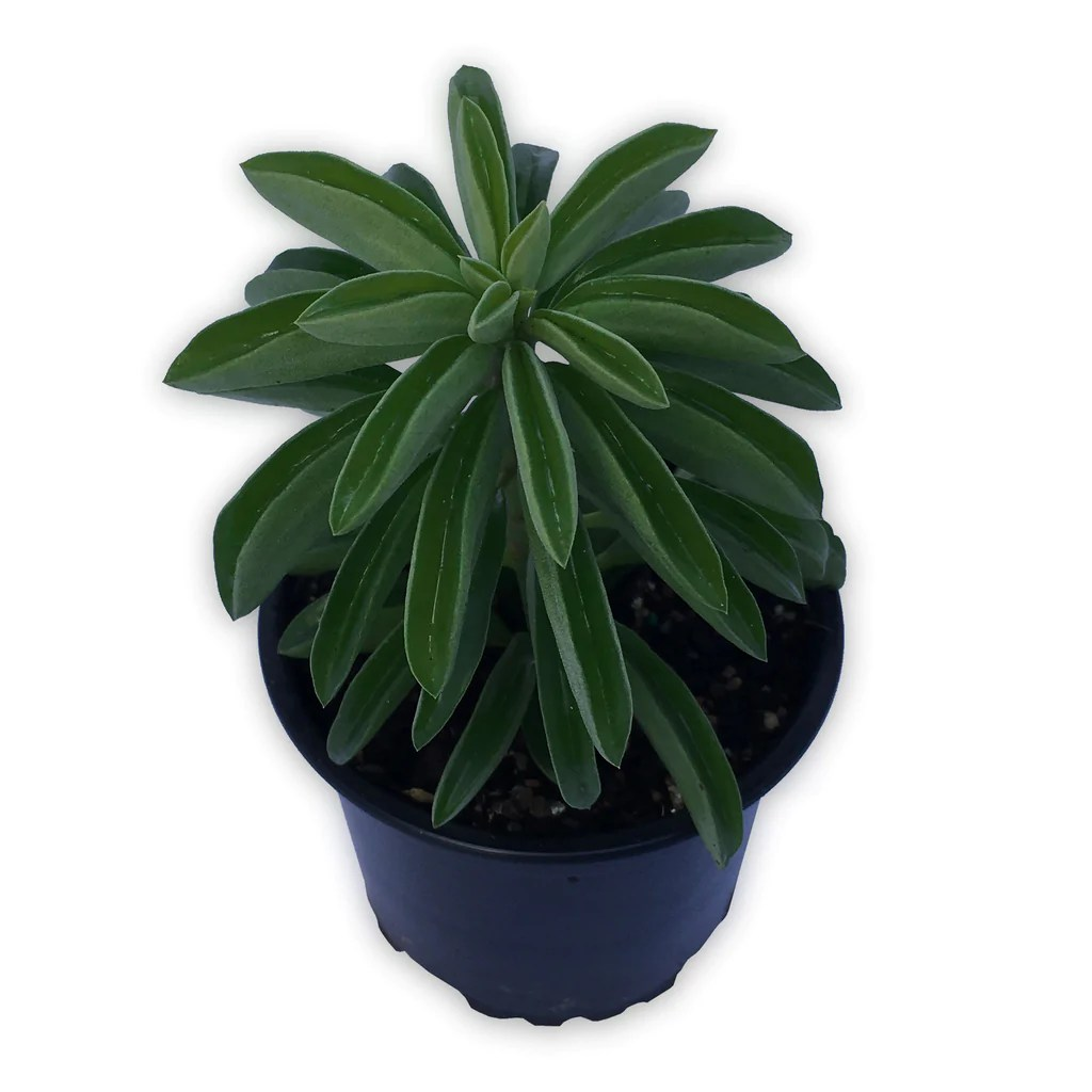 Tall Cactus Plants Sale