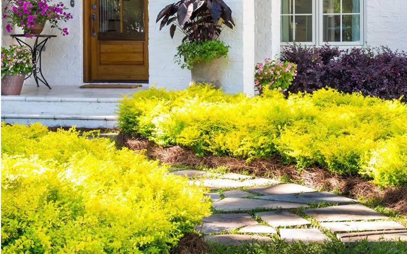 yellow shrubs landscape