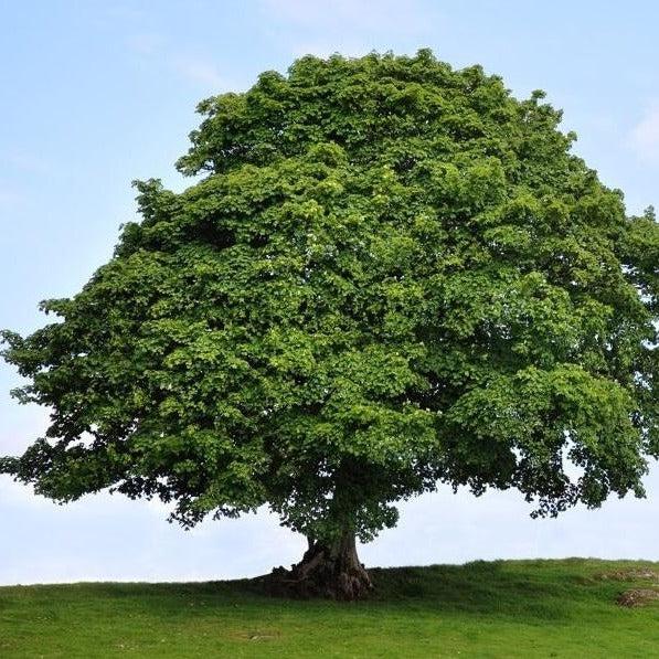 Resultado de imagen para sycamore tree