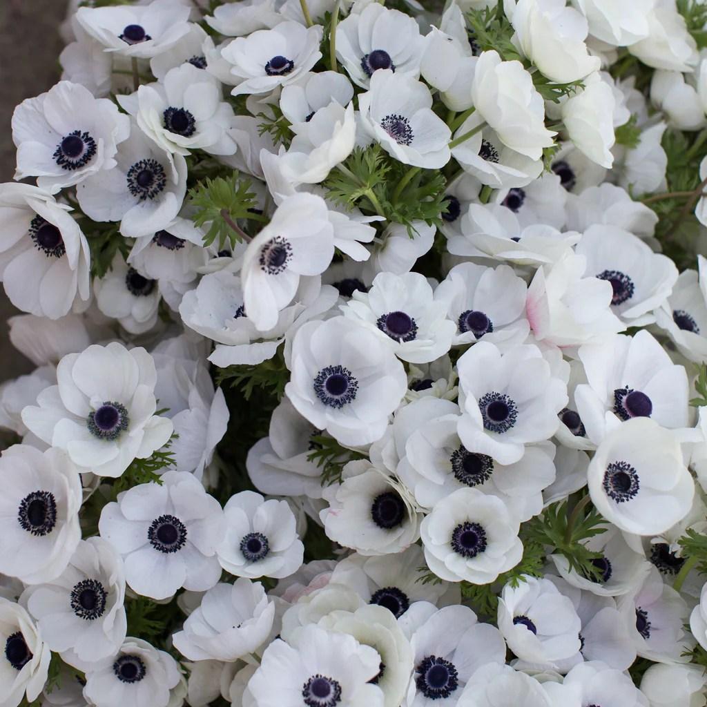 anemone black white