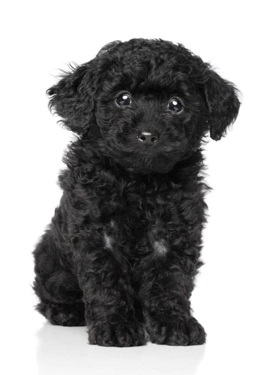 Teacup Poodle Images, Stock Photos & Vectors | Shutterstock