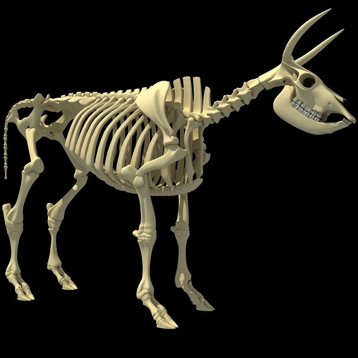 small resolution of cow skeleton