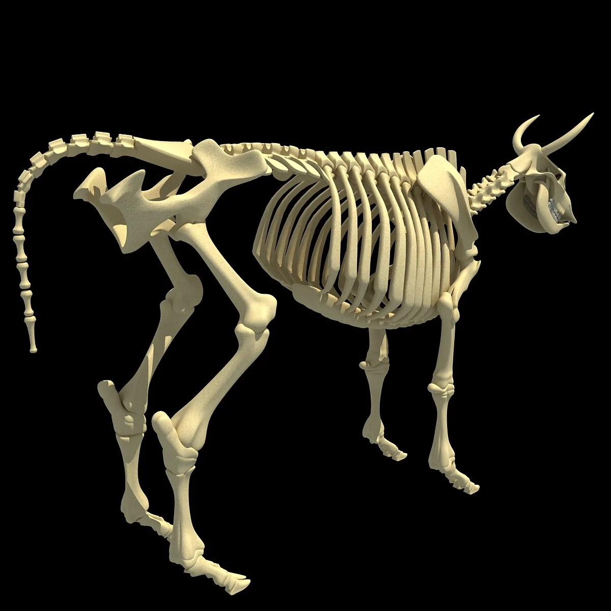 cow skeleton [ 1200 x 1200 Pixel ]