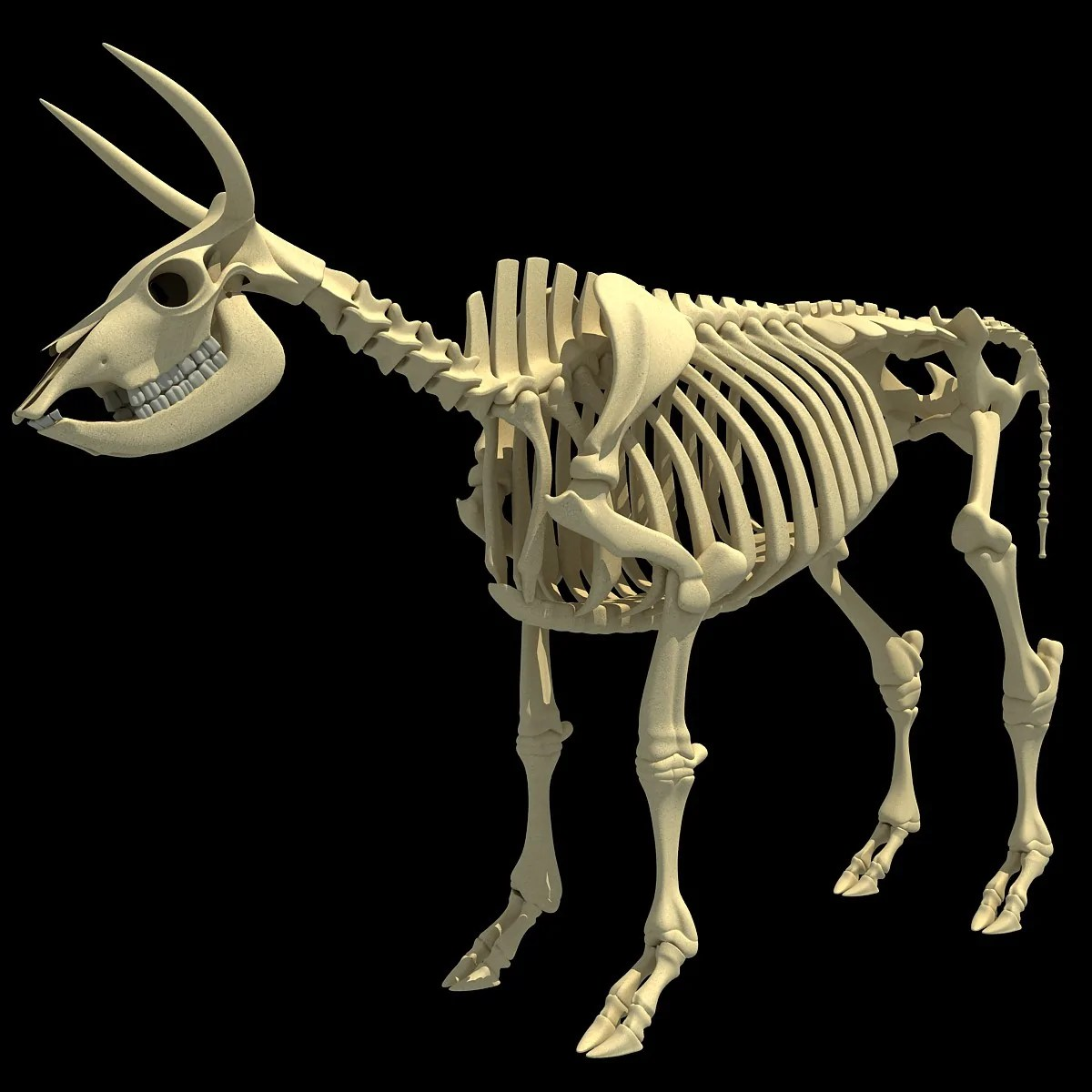 hight resolution of cow skeleton
