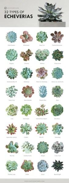 Echeveria succulent species