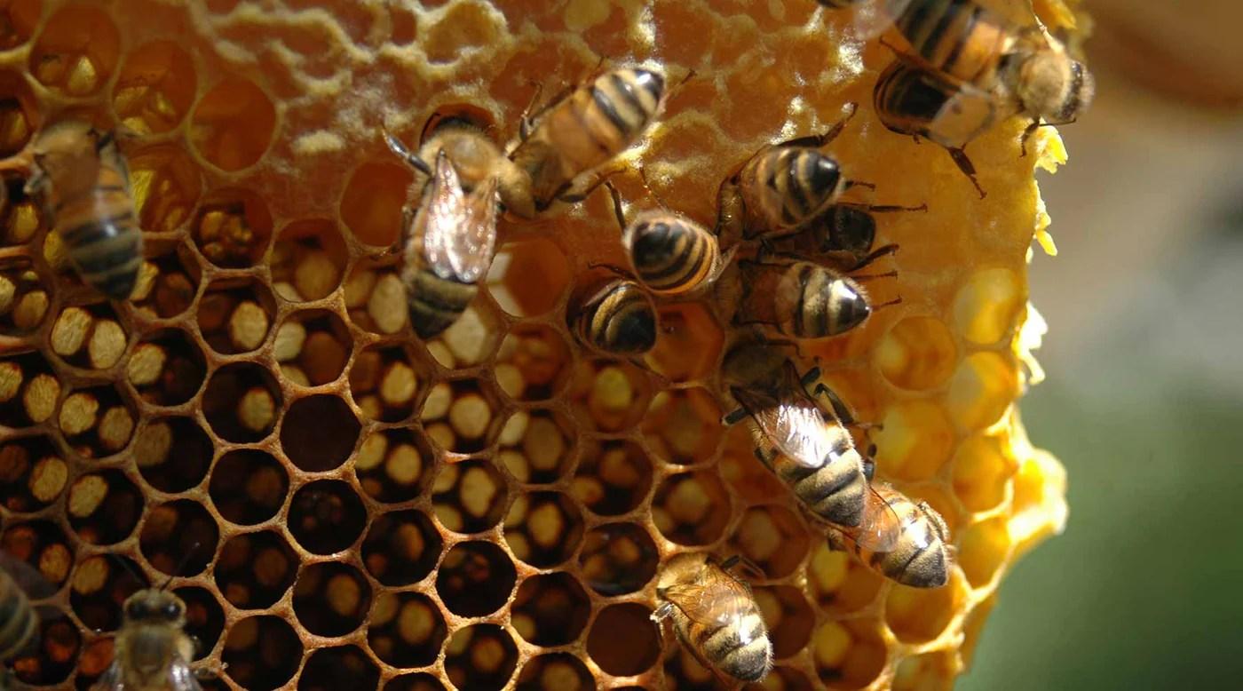 Honey comb identification brood nest also backyardhive rh