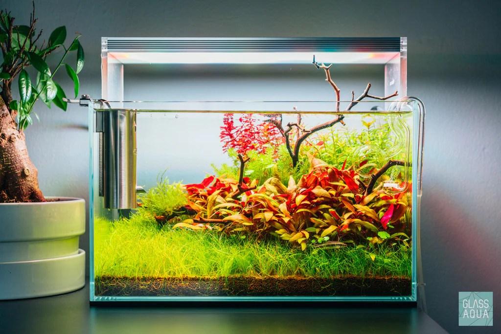 Rotala Macrandra Mini Butterfly Live Aquatic Plant – Glass Aqua