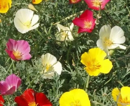 Buy Combo California Poppy Mixed Flower Seeds With Pot ...