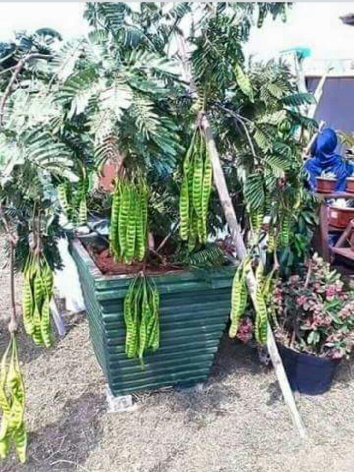 Petai Hybrid Siam  Malaysia Online Plant Nursery
