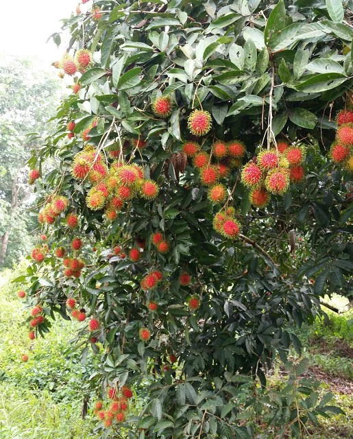 Pokok Rambutan Jarum Emas  Malaysia Online Plant Nursery