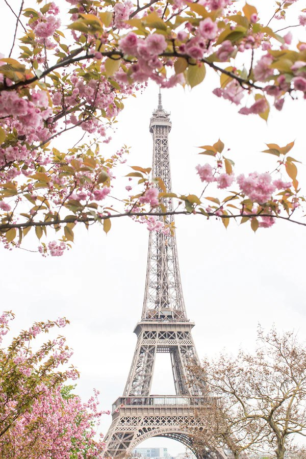Wallpaper Paris Pink Cute Spring Cherry Blossoms At The Eiffel Tower Rebecca