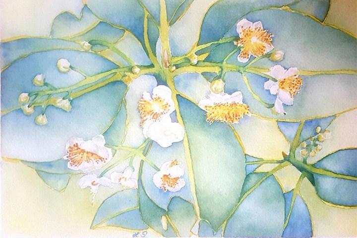 Beach Calophyllum - Tamanu Watercolour by Linda Schofield - Tamanu Australia