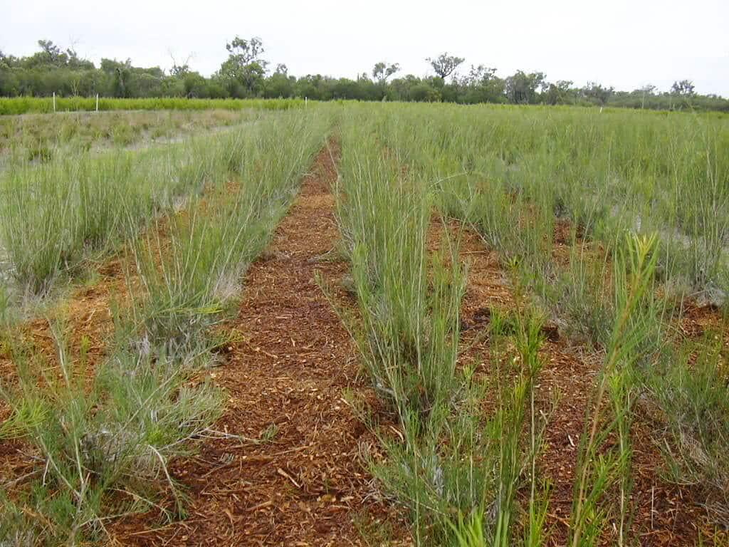 Honey Myrtle Rows - The Paperbark Co. Farm Lewin & Reilly Organic Skin Care NZ Australia