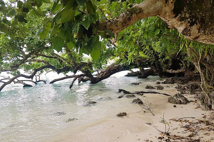 Tamanu Trees on the beach - Tamanu Australia