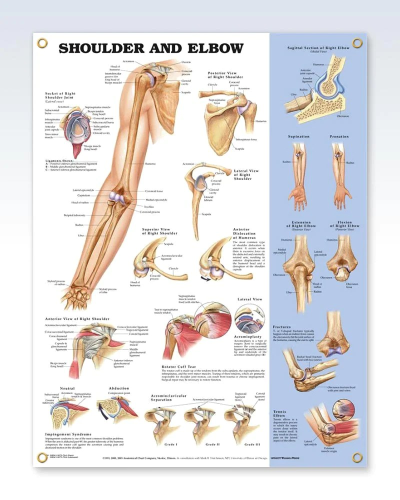 Shoulder and Elbow Exam Room Anatomy Poster - ClinicalPosters