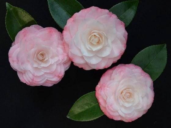 camellia japonica grace albritton