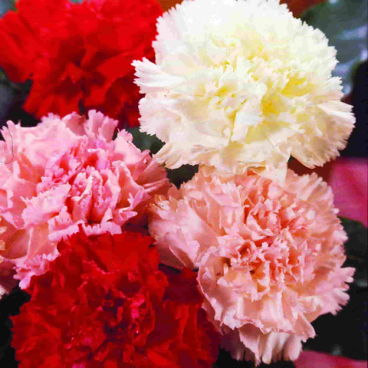 carnation chabaud giant mixed