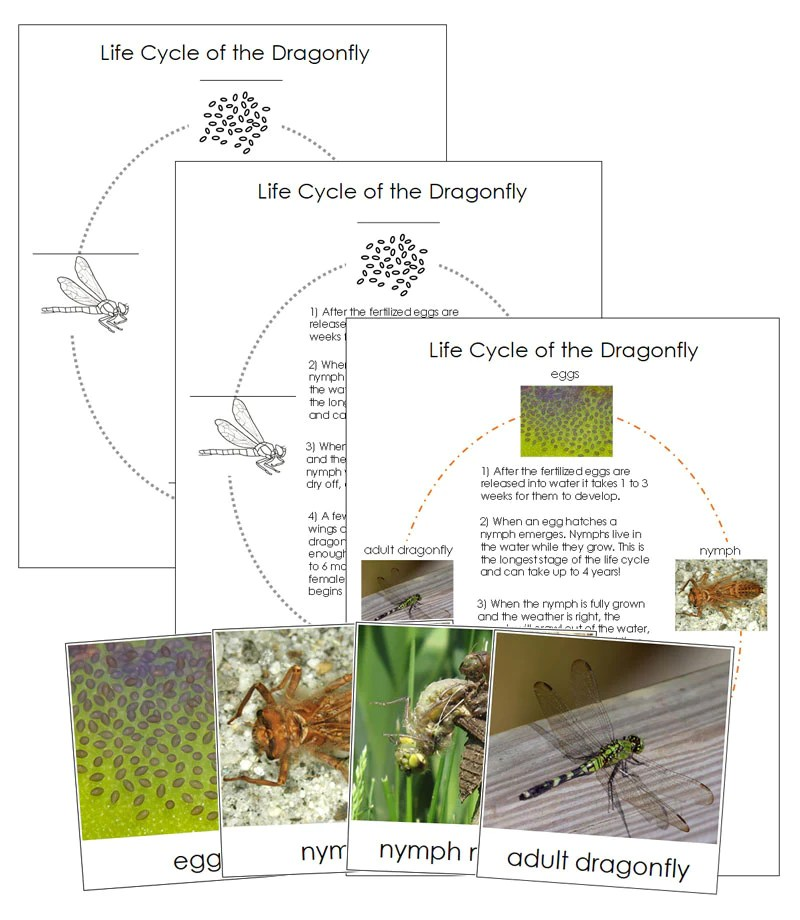 Dragonfly Life Cycle Nomenclature Cards Montessori Print Shop Montessori Print Shop Usa