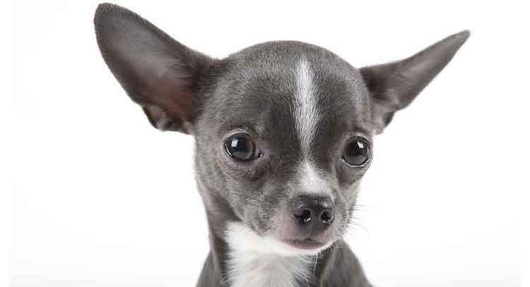 Chăm sóc chó Chihuahua đúng cách để chúng lớn lên thật khỏe mạnh