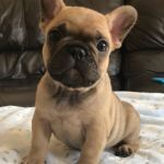 French Bulldog Puppies For Sale Near Me Cheap Bulldog Lover