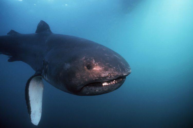 Пелагиялық үлкен акула (мегачасма пелагиос)