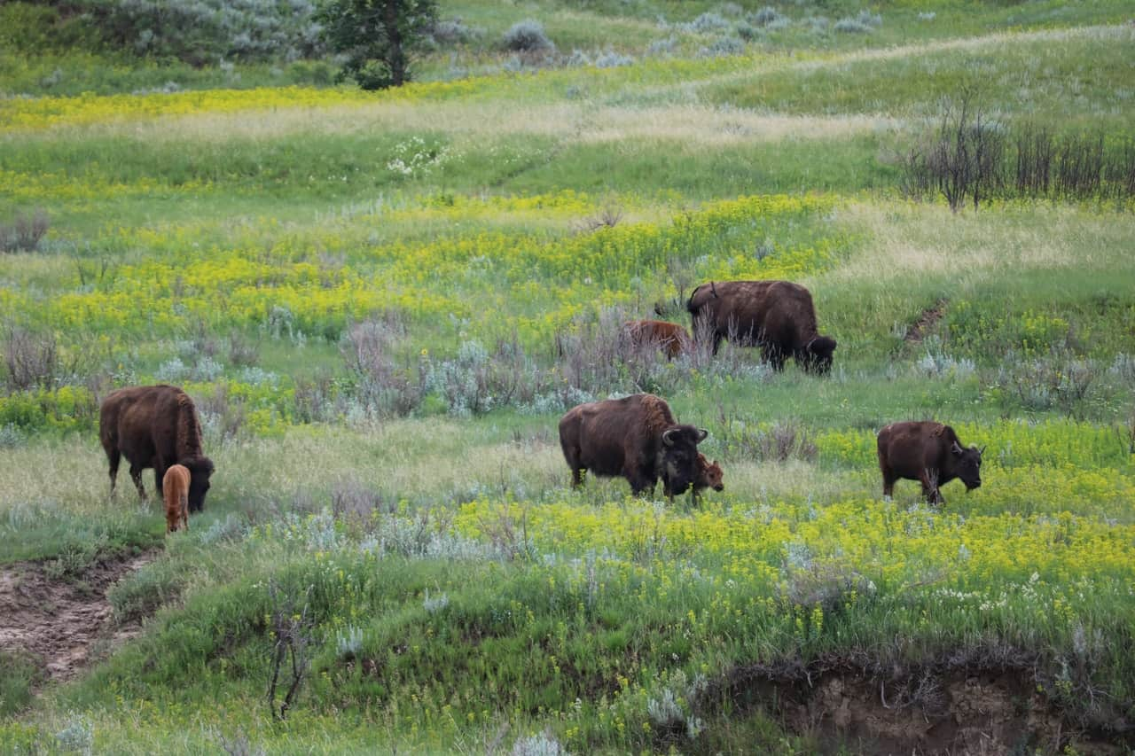 10 Things To See Amp Do In Theodore Roosevelt National Park