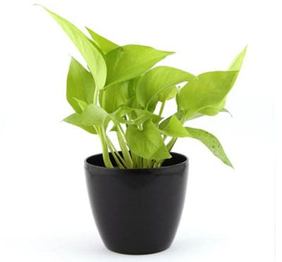 Air Purifying Golden Pothos Plant