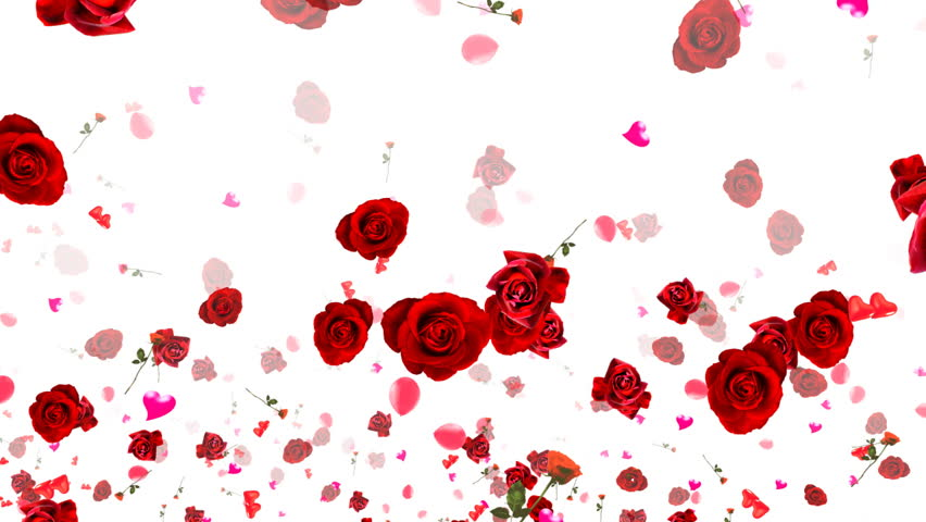 Rose Petals Falling Wallpaper Transparent Gif Flying Rose Petals On White Hd 1080 Looped Animation