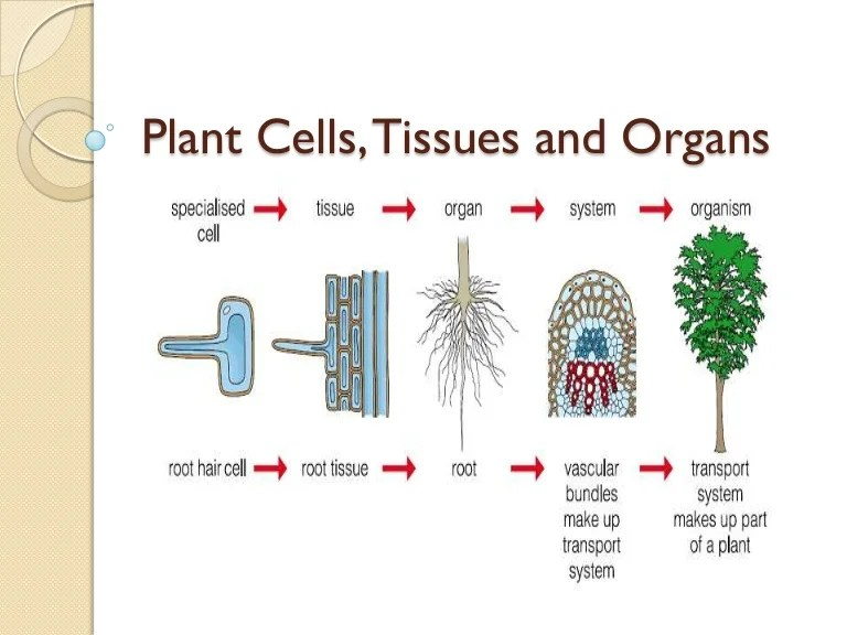 plant cell diagram with definitions 98 honda civic engine wiring 05 cells, tissues and organs