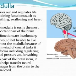 Reticular Formation Diagram Ford 7 Blade Wiring Medulla Thalamus And Hippocampus