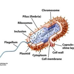 Bacteria Structure Diagram Individual Hair Extensions Placement Bacterial Cell
