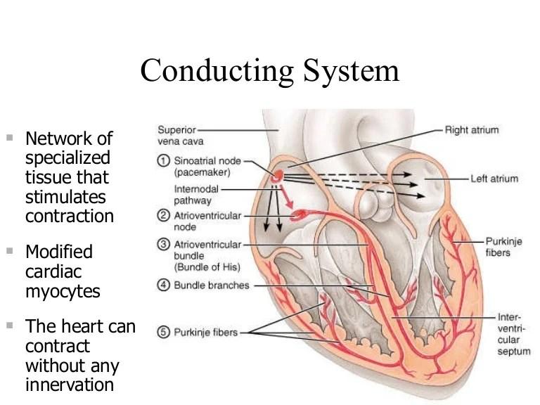 cardiac conduction system diagram wiring for blower motor resistor