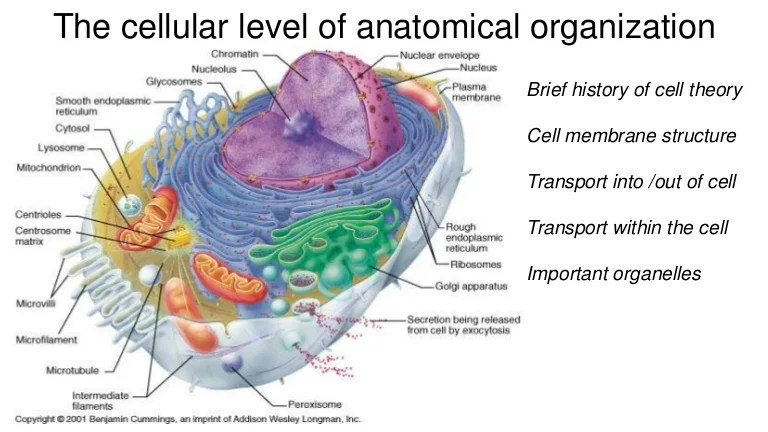 animal cell diagram labeled with functions ford wiring diagrams f150 theory membrane structure transport and important organelles