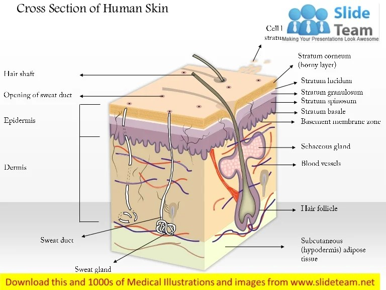 skin cross section diagram cat muscle anatomy of human medical images for power point