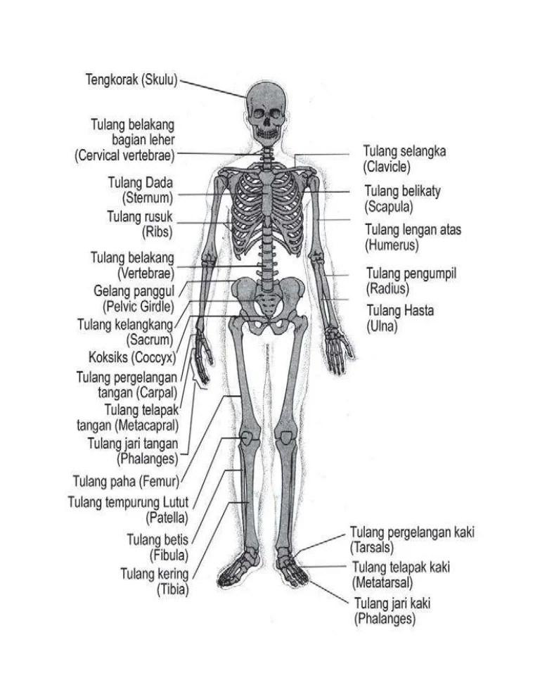 Tulang Tempurung : tulang, tempurung, Kerangka, Manusia