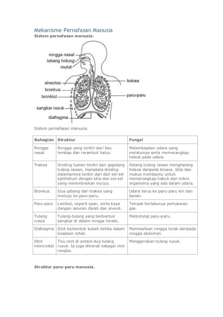 Struktur Paru Paru : struktur, Mekanisme, Pernafasan, Manusia