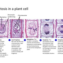 Diagram Of Mitosis An Animal Cell Spur Wiring In A Plant