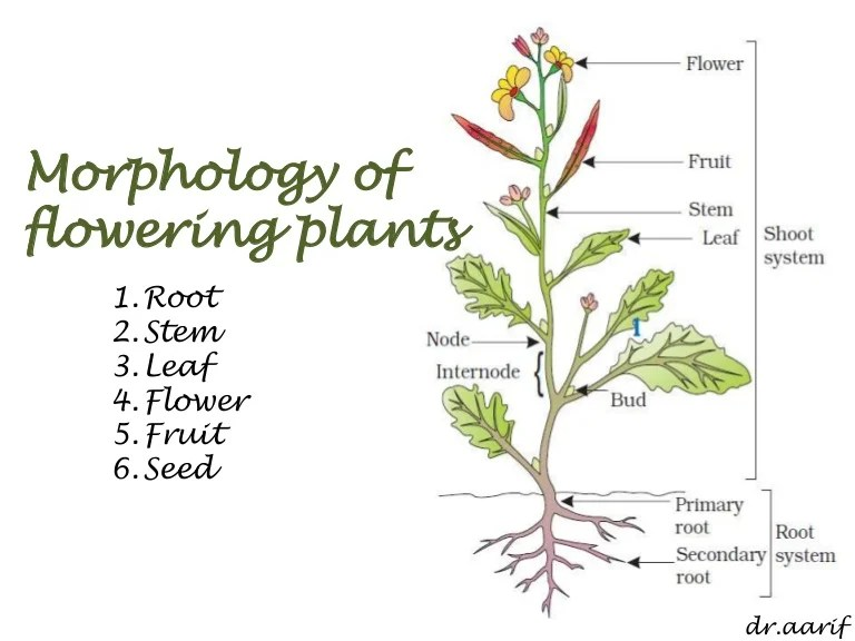 how do you draw a stem and leaf diagram trailer lights wiring 5 way morphology of flowering plants - i (root, & leaf)