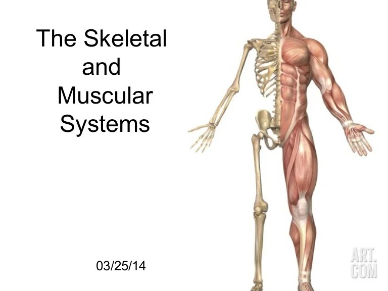 human muscular system blank diagram 2006 nissan xterra drive belt skeletal and