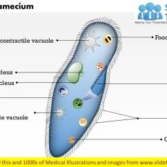 Euglena Cell Diagram With Labels 4 Pin Micro Relay Wiring In Color 12674 Usbdata
