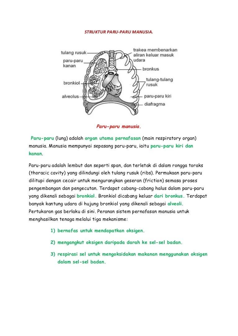 Struktur Paru Paru : struktur, Struktur