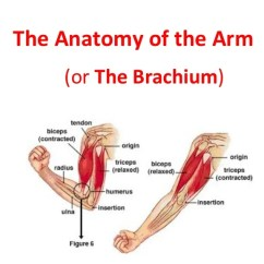 Muscles In Your Arm Diagram Subaru Impreza Horn Wiring The Anatomy Of