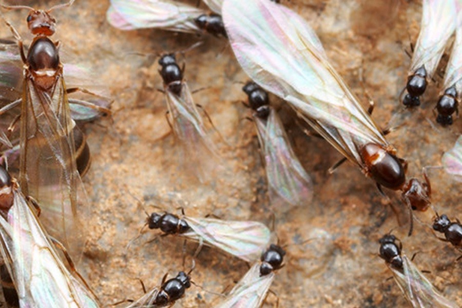 Flying Ants And How To Get Rid Of Them