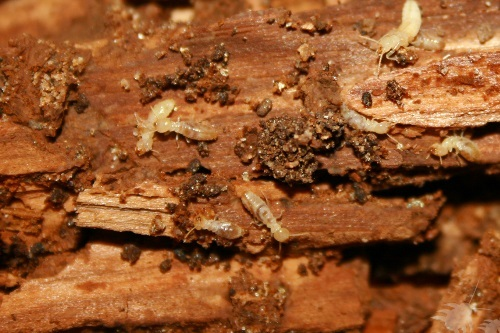 Wood Termites in the Walls of a House