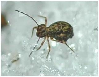 springtail bug image