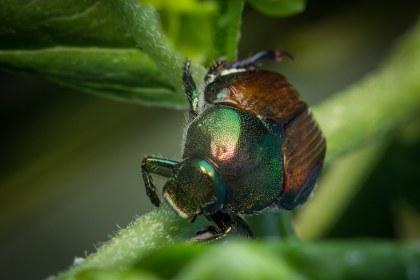 green japanese beetle image