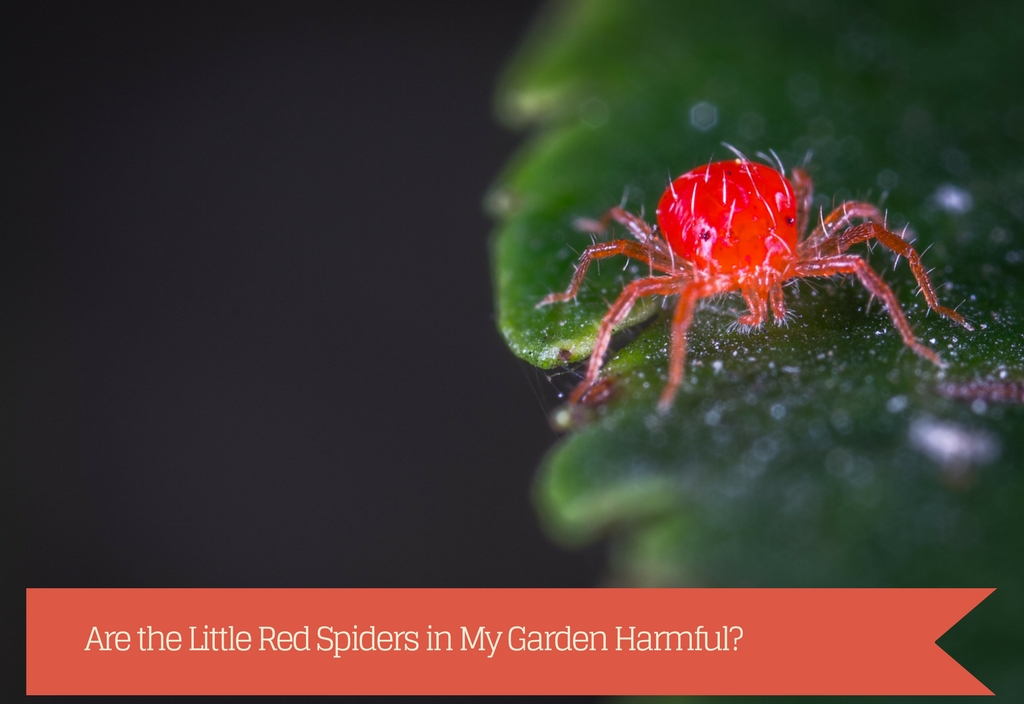 Little Red Spiders in My Garden