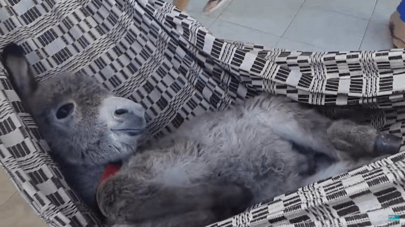 Chill Baby Donkey Chills In A Hammock Like A Total Chiller