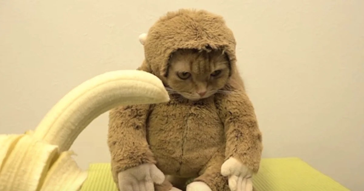 2016 Will Be The Year Of The Monkey And This Cat Is Ready